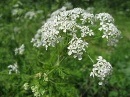 Wild chervil looks romantic along the roadside, but this umbellifer can easily overtake native plants.