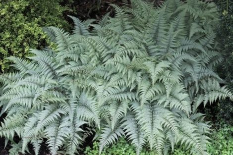 The 'Ghost' fern was selected by plantsman John Mickel. Its silvery leaves are the perfect foil to dark foliaged perennials.