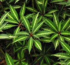 The boldly patterned foliage of this perennial impatiens is highlighted when paired with ferns.