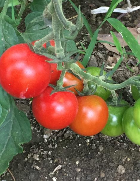 Heirloom tomatoes at Red Shirt Farm. Photo: Emma Bailey Ryan