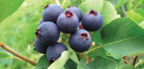 Juneberries bear their fruits in the month one would expect or at least shortly thereafter. There are many native species of this genus, which are all worth growing.