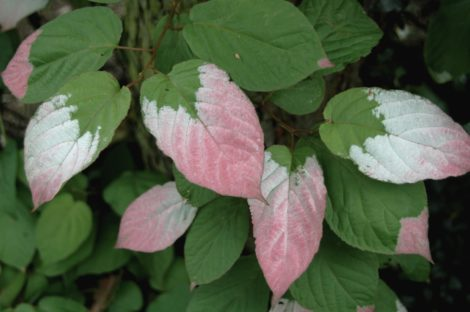 PHOTO 4-Kiwiberry - actinide kolomitka