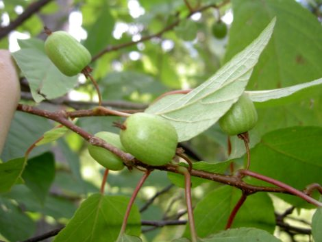 The fruit of the kiwiberry on the female plant, which has much plainer leaves than does the male.