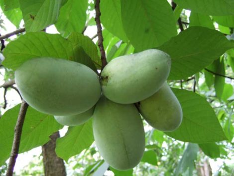 Although the foliage of pawpaws looks tropical and exotic, the trees are native and sucker to form colonies over time.