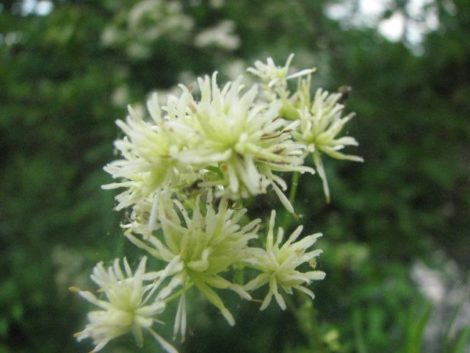 This native thalictrum species seems to vary in the way it holds it flowers and foliage, but whether tall and lanky or short and full, it is a great addition to the garden.