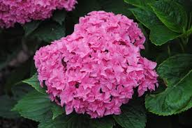 The flowers of many hydrangeas have a phenotypic response to soil acidity. Pink tones are a product of more alkaline soils.