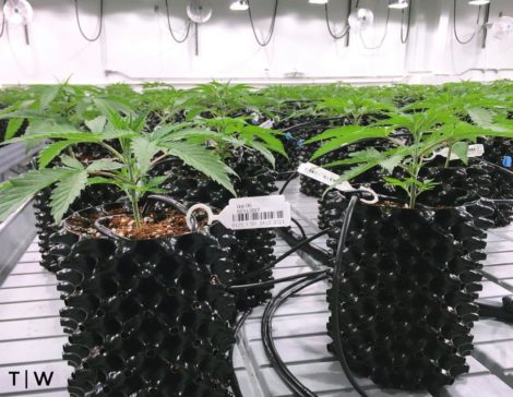Medical marijuana being grown hydroponically by Theory Wellness at a facility in Bridgewater, Mass.