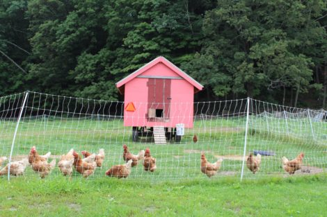 North Plain Farm's flock of chickens, outside their pink house. Photo: Barbara Zheutlin
