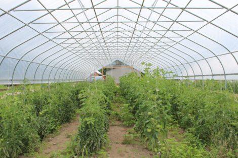 Tomatoes growing in the North Plain Farm greenhouse. Photo: Barbara Zheutlin