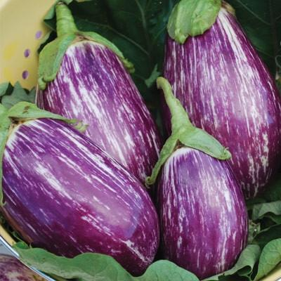 'Listada di Gandia' eggplant has a tender skin and mild-flavored flesh that lacks the bitterness sometimes associated with eggplants.