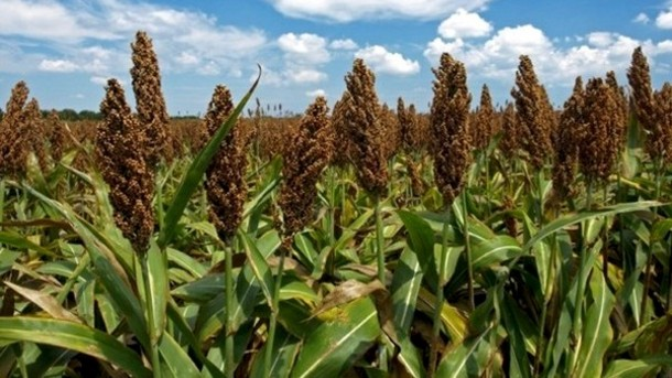 PHOTO 2 -Sorghum-takes-pressure-off-wheat-production-in-drought-hit-Australia_strict_xxl