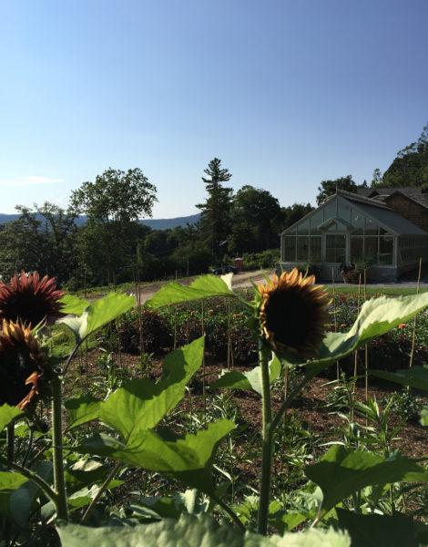 Sunflowers take hold in the cutting garden at Naumkeag in Stockbridge, Mass.