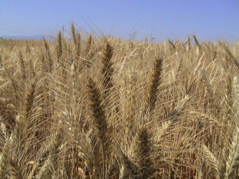 PHOTO 3 -wheat landraces