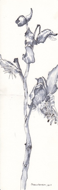Milkweed in winter CREDIT: Pen and ink drawing by Carolyn Newberger