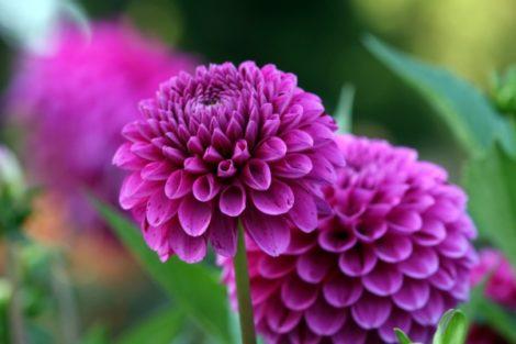 Dahlias carry the season of a flower farm well into the fall.