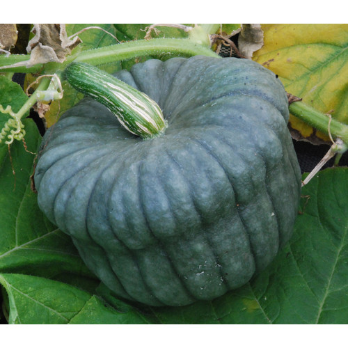 Blue Hubbard varieties of squash have a wonderful texture when roasted, but their beautiful textured exteriors may very well exert an influence on my opinion of their taste.