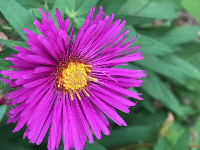 Aster Flowers Lesson For Kids Study Com