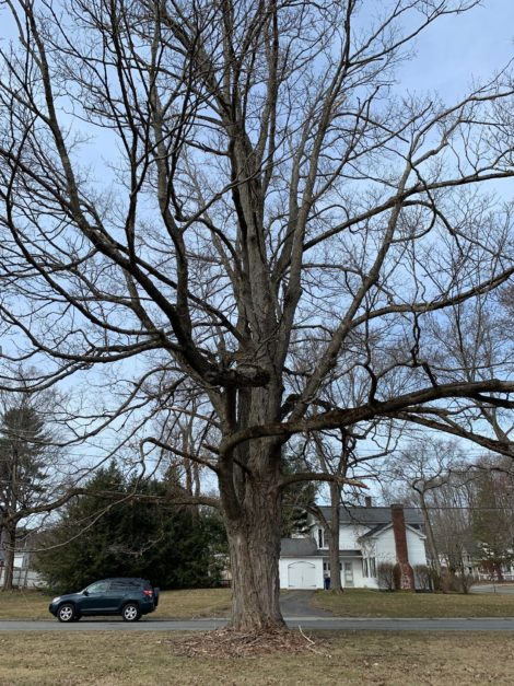 Public invited to discuss fate of historic maple tree in Great Barrington