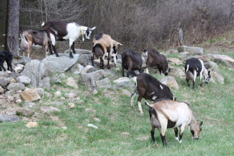 Rawson Brook Farm to downsize: Get your chevre while you can