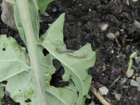 NATURE'S TURN: Unwelcome cabbage white butterflies and dreaded cross-striped cabbage moths