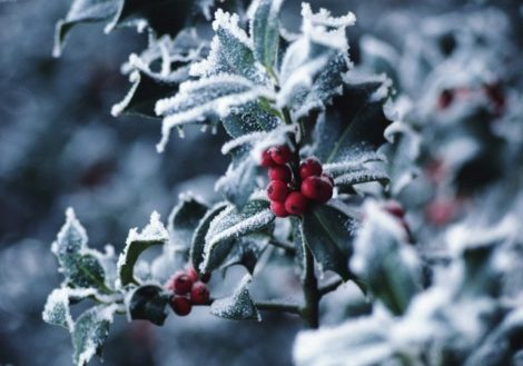 The Self-Taught Gardener: Christmas holly and the divided house