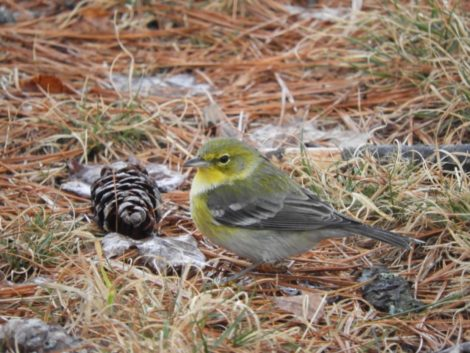 NATURE'S TURN: Kinglets to bald eagles, 8,855 birds counted locally on New Year's Day