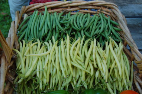 The yellow or wax bean is 'Gold Rush' and the green bean is 'Masai'.