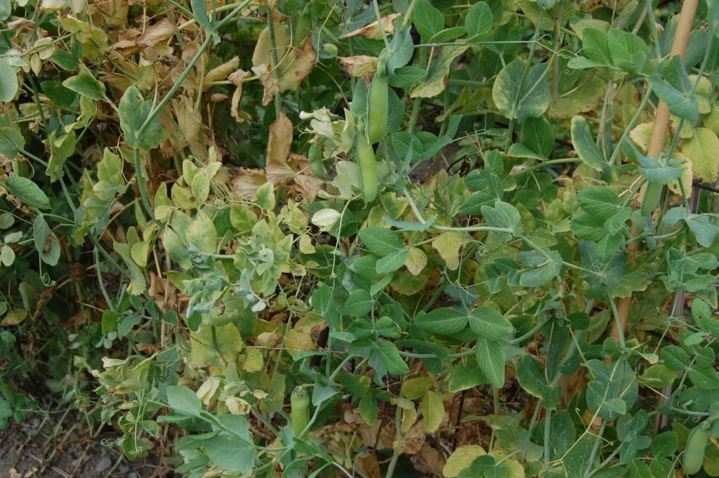 Over-mature pea pods may be left on the vines. They can be used in soup and other recipes.