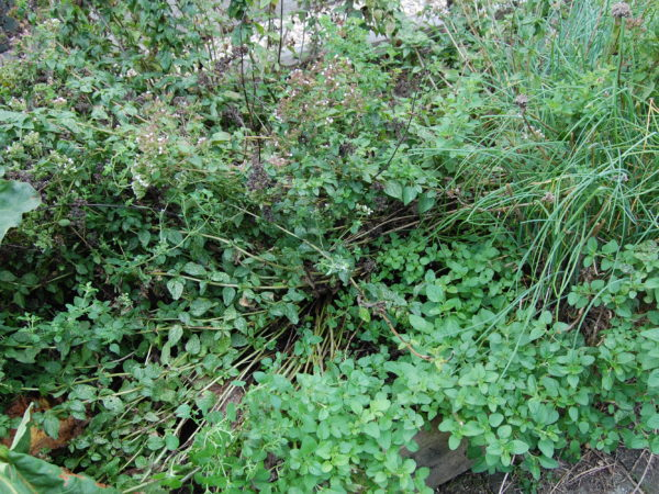 Rambling patch of oregano