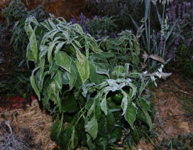 Frost on pepper plants