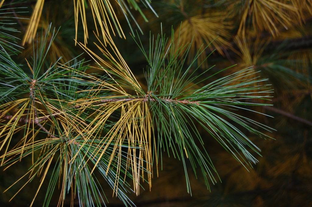 Yellow needles on white pine trees