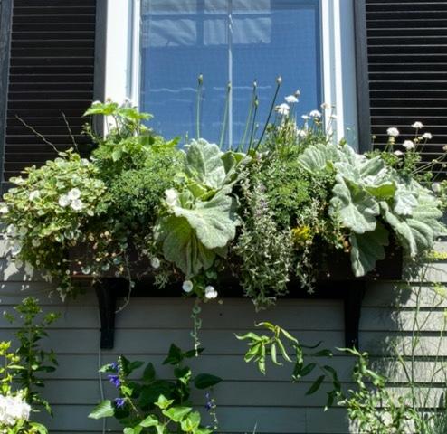 Nantucket window box with sage leaves