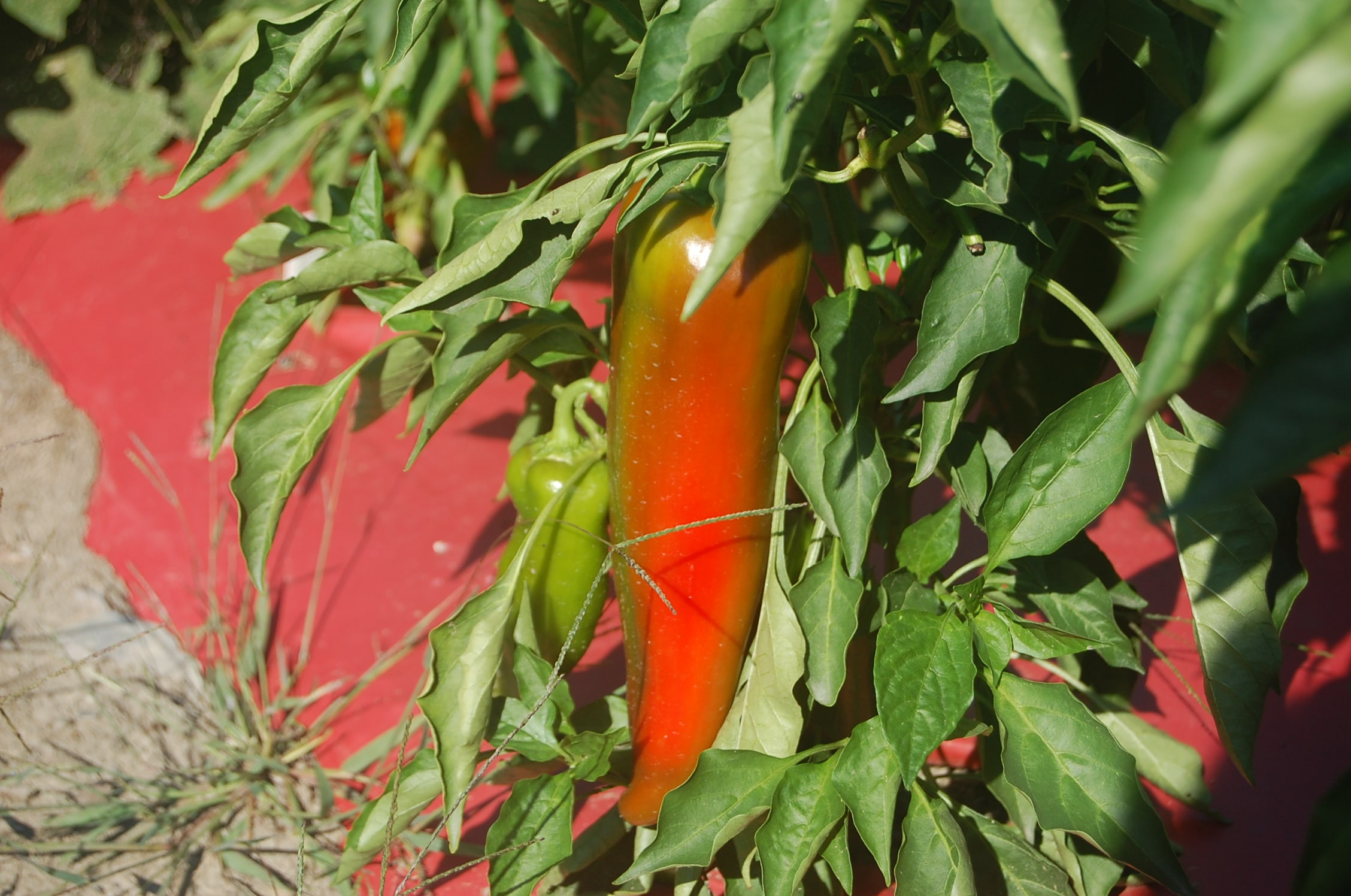 Leave peppers on the vine to sweeten
