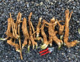 Gardening - advice for growing horseradish.