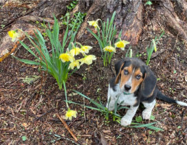 Henry the hound examining the daffodils
