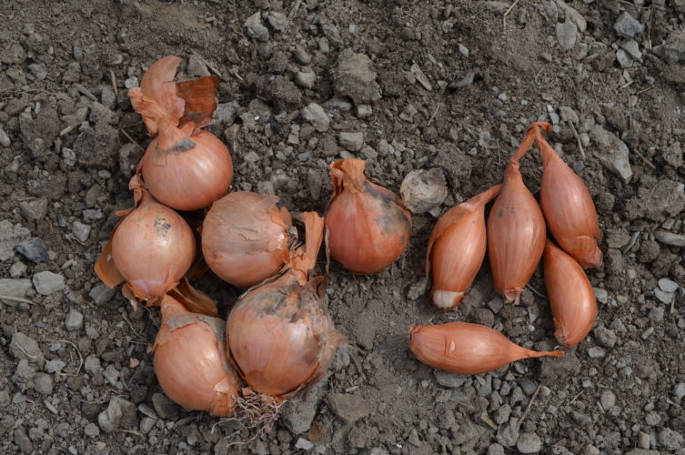 Two varieties of shallots, like onions but milder