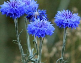 Bachelor's Button, also called cornflower, can be sown omtp tje ground at the end of April.