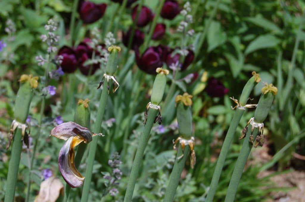 Seed heads on tulip stalks