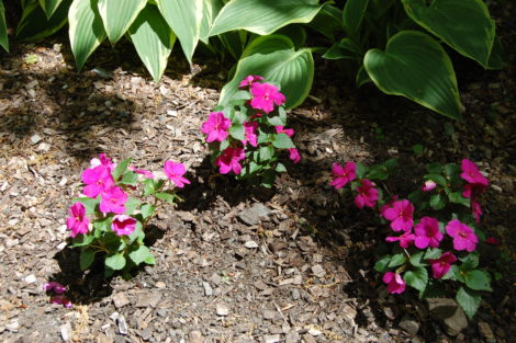 These flowers are impatiens.