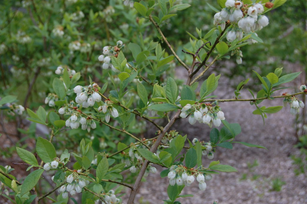 Blueberry plants in blossom