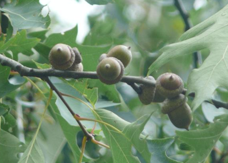 the foliage and fruit of a pin oak tree