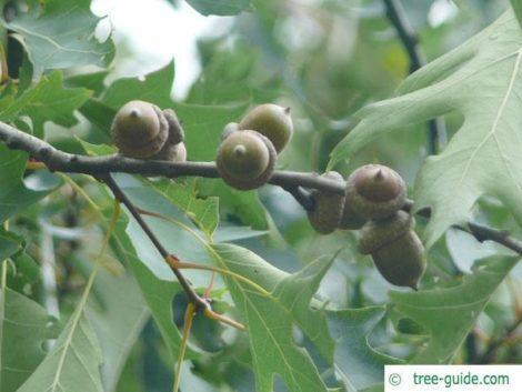The foliage and acorns of a pin oak
