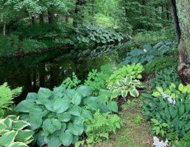 Hostas growing along a stream.