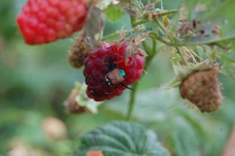 Japanese beetle on a raspberry