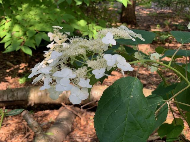 hortensia arborescent
