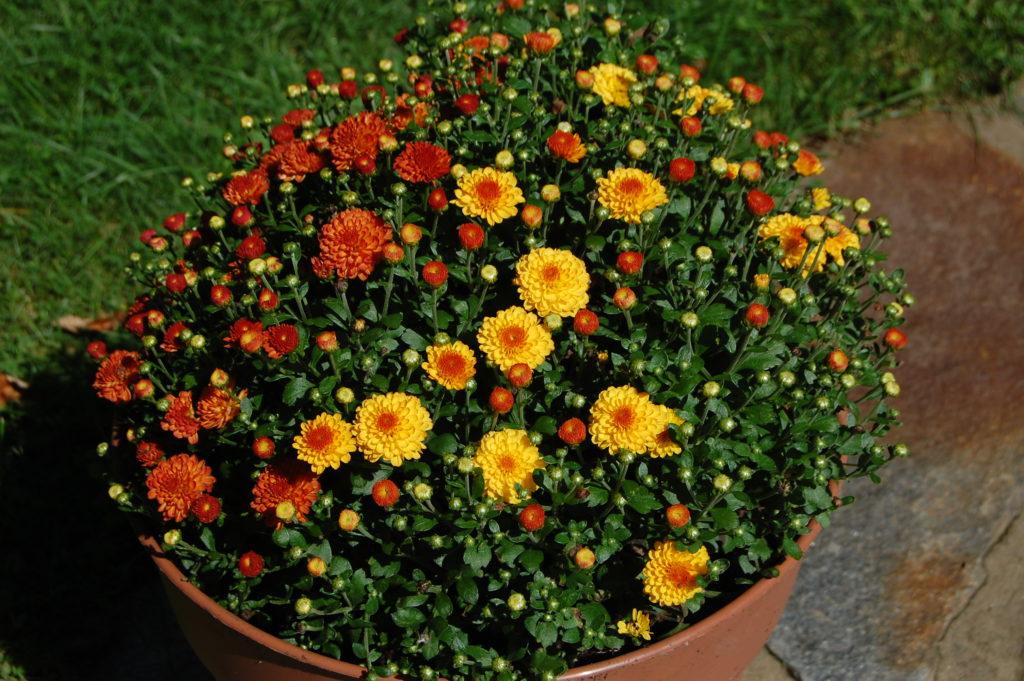 Mims qui fleurit à l'automne