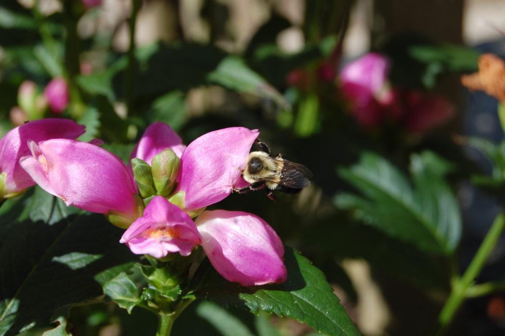Tête de tortue rose (Chelone) avec abeille