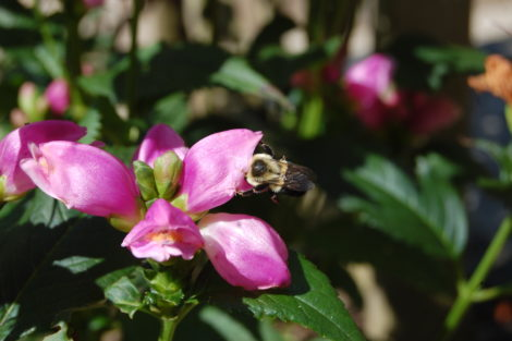 Pink turtlehead (Chelone) with bee