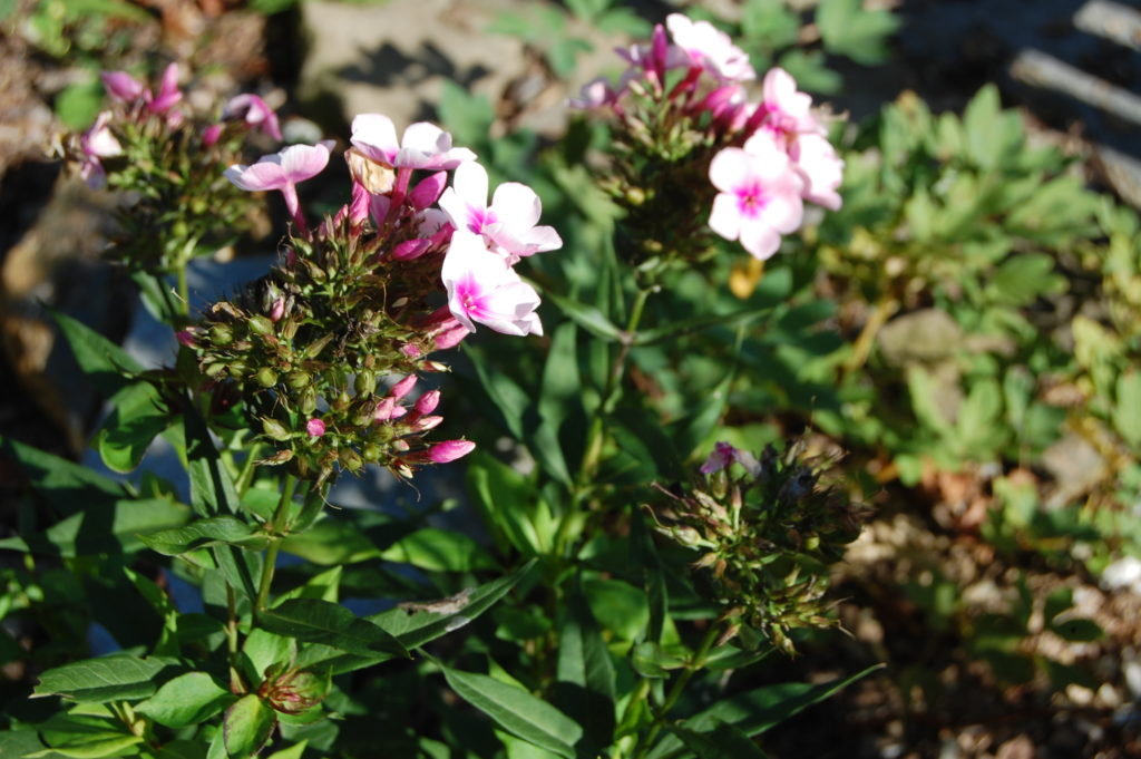 Phlox de jardin