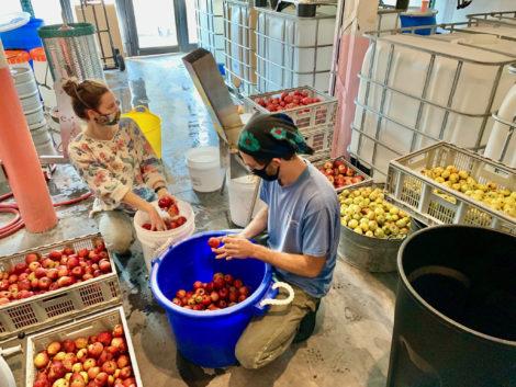 Preparing apples to make cider